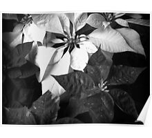 Mixed Color Poinsettias 2 B&W Poster