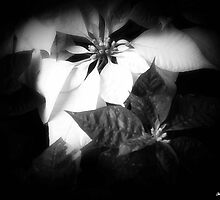 Mixed Color Poinsettias 2 Dark by Christopher Johnson