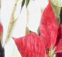 Mixed Color Poinsettias 2 Watercolor Sticker