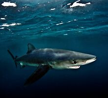 Blue Shark by Greg Amptman