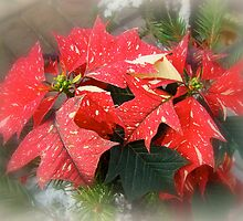 Poinsettia In Red And White by MotherNature2
