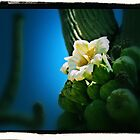 White Cactus Flower by tvlgoddess