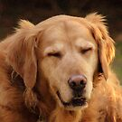Shelby my beautiful Golden Retriever waiting for her surprise. by vette