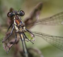 Dragon fly by Harley Rustin