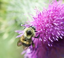 insect | bee on thistle flower by willowcanda