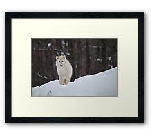 Arctic Wolf - Parc Omega, Quebec Framed Print