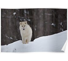 Arctic Wolf - Parc Omega, Quebec Poster