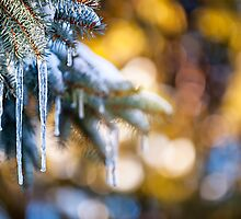 Icicles on fir tree in winter by Elena Elisseeva
