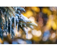 Icicles on fir tree in winter Photographic Print