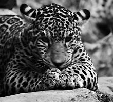 Jaguar Cub Woodland Park Zoo by Ian Phares