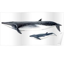 Bryde´s Whale with calf Poster