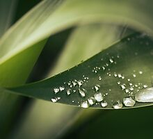 Raindrops on Agave by ozzzywoman