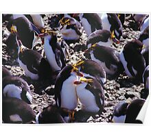 Royal Penguins Nesting in the Rookery  Poster
