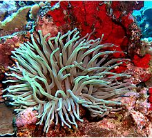 Giant Green Sea Anemone feeding near Red Coral Reef Wall Photographic Print