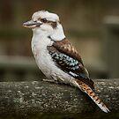 Kookaburra by Sophie Lapsley