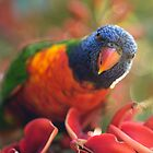 Rainbow Lorikeet feeding by Adriano Carrideo