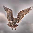 Mollyhawk by Cynthia Harris