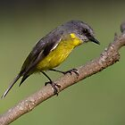 Eastern Yellow Robin ~ I Spy by kim wormald
