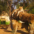 Athens Zoo - Lions by Vitta