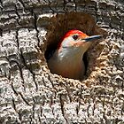 Woodpecker Peeks Out of His Home by imagetj