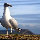 Gull by lynn carter