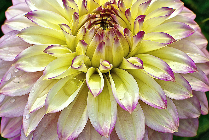 Another Test Dahlia by Cee Neuner