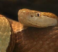 Copperhead by Thea 65