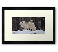 Arctic Wolves - Parc Omega, Quebec Framed Print