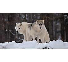Arctic Wolves - Parc Omega, Quebec Photographic Print