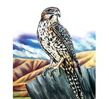 Native NZ Falcon Photographic Print