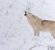 The Howl - Arctic Wolf by Josef Pittner