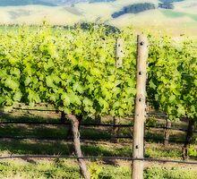 Vineyard by Belinda Osgood