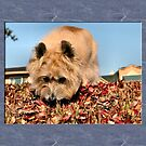 Cairn Terrier by Keala