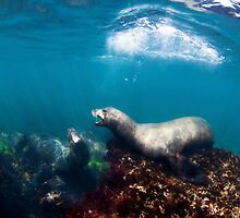 California Sea Lions by Greg Amptman