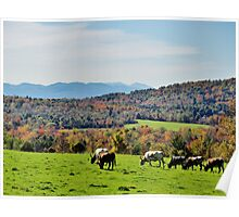 Cattle Poster