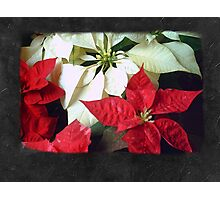 Mixed Color Poinsettias 2 Blank P4F0 Photographic Print
