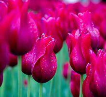 Wet Tulips by texjamesphotogr