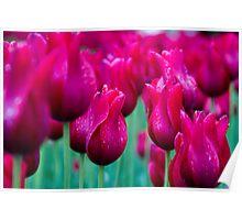 Wet Tulips Poster