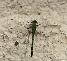 Green and Black Striped Dragonfly by rhamm