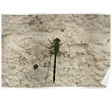 Green and Black Striped Dragonfly Poster