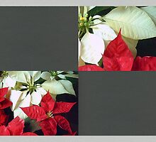 Mixed Color Poinsettias 2 Blank Q6F0 by Christopher Johnson