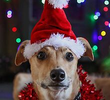 Funny Dog at Christmas Wearing Xmas Santa Hat by Janet Jenkins