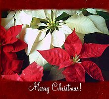 Mixed Color Poinsettias 2 Merry Christmas P5F1 by Christopher Johnson