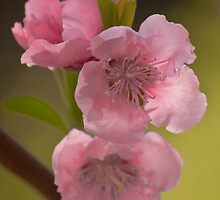Almond blossoms. by jhawa