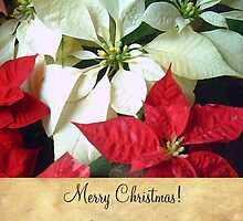 Mixed Color Poinsettias 2 Merry Christmas S2F1 by Christopher Johnson