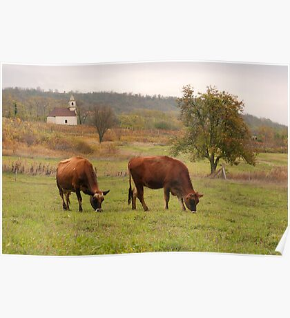 Jersey cows graze in the pasture fall. Poster