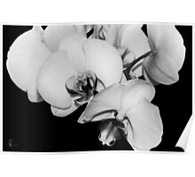 Orchids in Black & White Poster