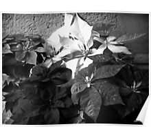 Mixed color Poinsettias 3 B&W Poster