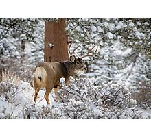 Snowy Buck Photographic Print