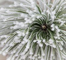 Frost on Pine by tamás klausz
